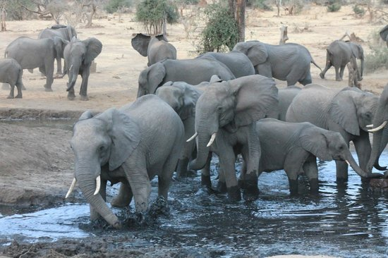 Senyati Safari Camp: Elefanti visibili dal bar del camp