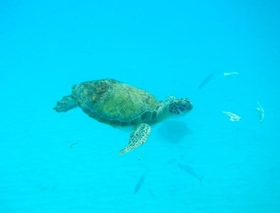Shasa Catamaran Cruises: Snorkeling with the turtles