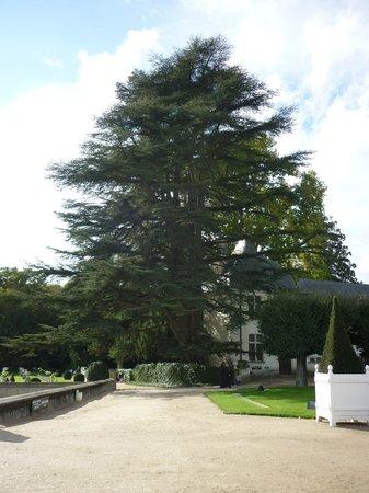 Château de Chenonceau : Название этого дерева, к сожалению, я не знаю