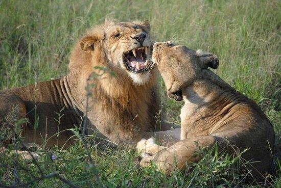 Kambaku Safari Lodge : Lions seen on safari drives