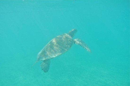 Plage d'Akumal: Another turtle