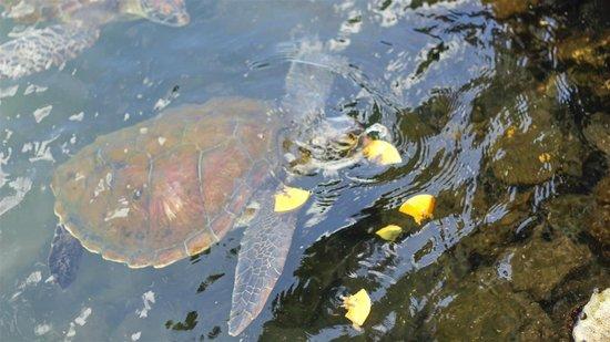 Swimming with Turtles: Savaii turtle visit.
