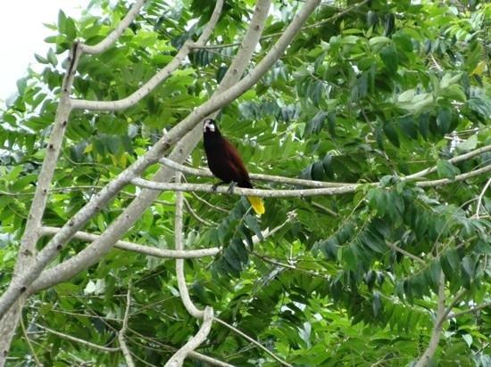 Arenal Springs Resort and Spa: montezuma orependola