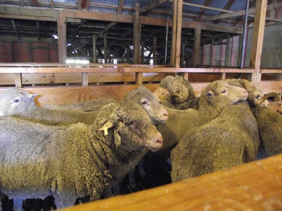 Queenstown Lake Cruise - Southern Discoveries : Marino sheep