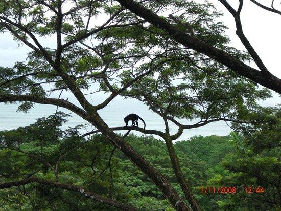 Casa MarBella : Howler Monkey