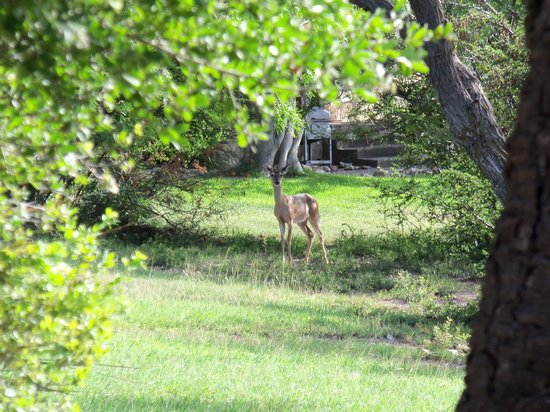 Laguna Diablo Resort: Deer
