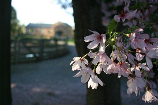 Lexington Park Cottages: Cherry Blossoms in Spring