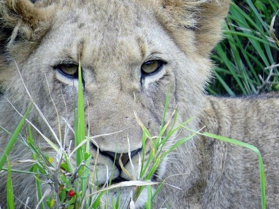 Kariega Game Reserve: Kariega lion smirk