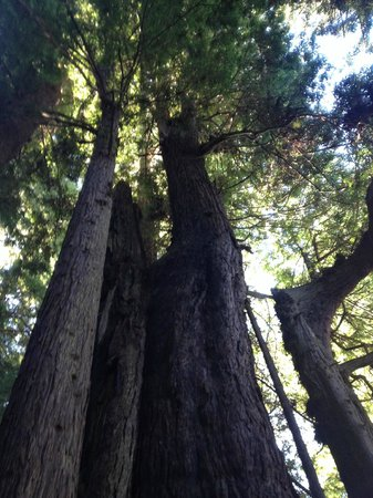 Gualala Point Regional Park: Coast redwoods