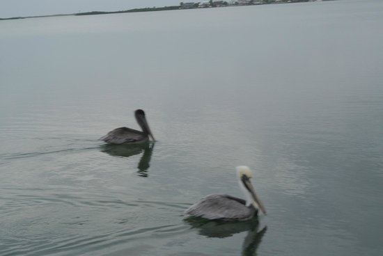Rock Reef Resort: Pelicans taking an interest in our shrimp bait