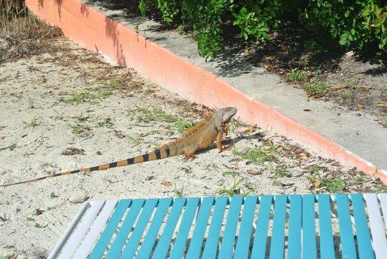 Rock Reef Resort: Iguana