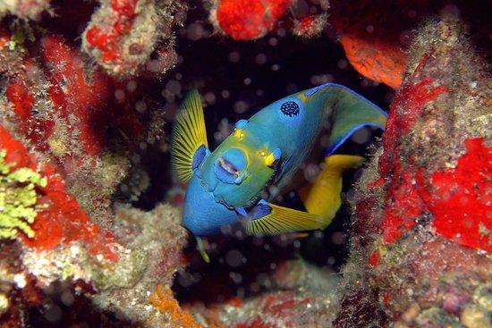 Aquatic Sports: Shy Angelfish