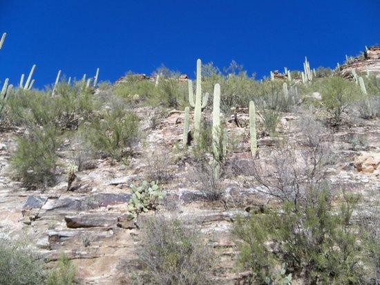 Sabino Canyon: Saguaros