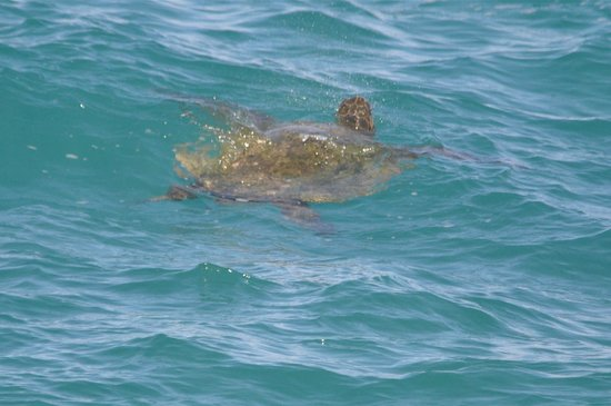 Haiku Cannery Inn B&B: Turtles playing in the waves at Mama's Fish house