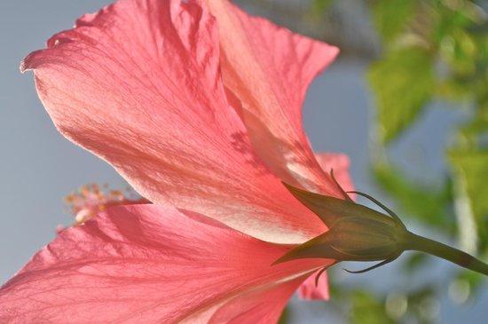 Haiku Cannery Inn B&B: Hibiscus blooming on the grounds