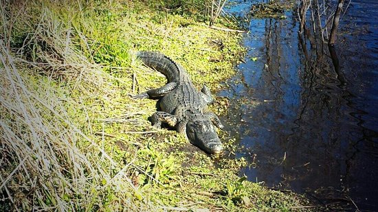 Paynes Prairie Preserve State Park: Alligators in the wild just next to you