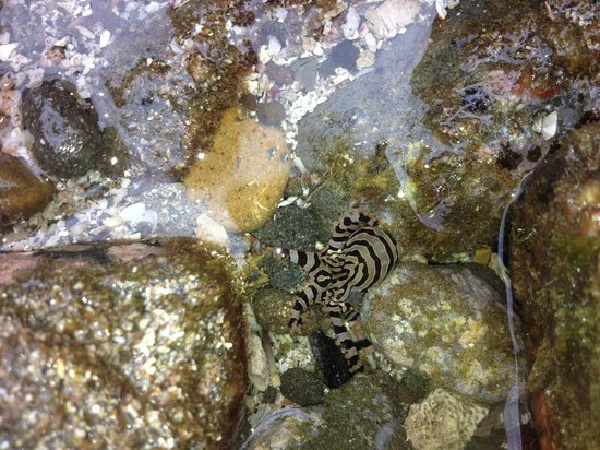 Luna Negra: Baby octopus we saw in the tidal pool