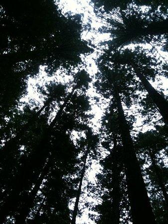 Redwoods, Whakarewarewa Forest: Redwood Canopy