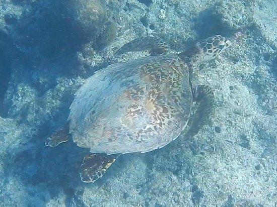 Navini Island Resort : Swimming with turtle!