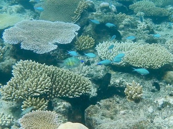 "Navini Island Resort: Nice corals on ""Main Reef"""