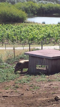Valleybrook Wine on Wheels Tours: We got to wait to see Pinot the pig at one of our wineries :)