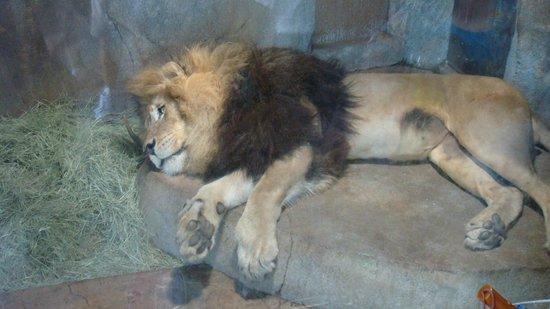 San Diego Zoo: leon