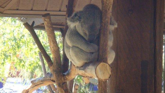 San Diego Zoo: koalas