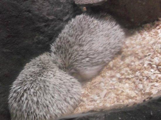 Chiang Mai Zoo Aquarium : Inexplicable Aquarium Hedgehog