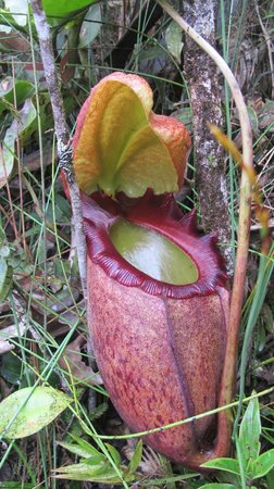 Mesilau Nature Resort: The magnificent Nepenthes rajah which can be viewed along the Nepenthes Garden Trail