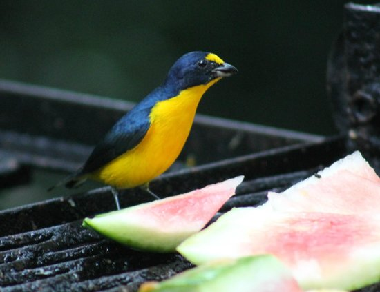 Belize Botanic Gardens: Such a cute, unknown bird at the feeding table by the bar