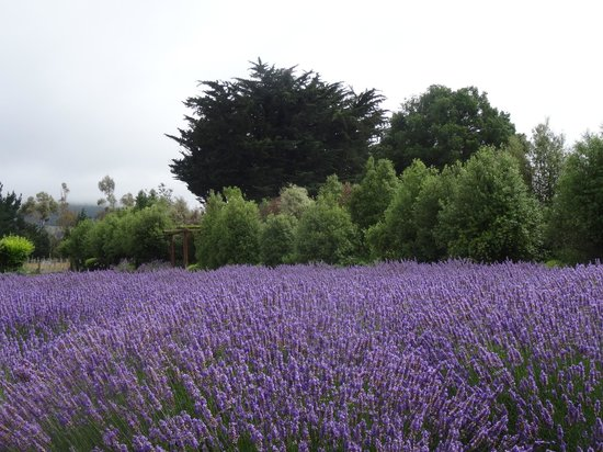 Dylans Country Cottages: Lavender farm