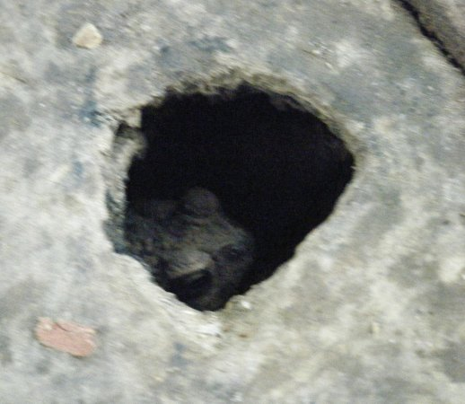 Belize Botanic Gardens: A toad-in-the-hole, underneath the floorboards of the entrance arch.