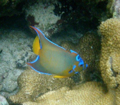 Laughing Bird Caye National Park: Queen Angelfish