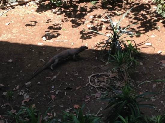 Mu Koh Lanta National Park: Varan