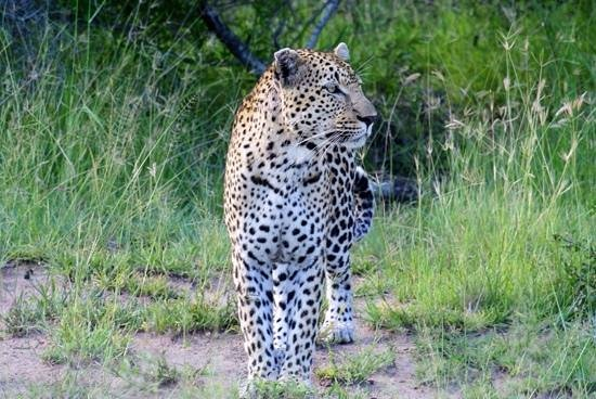 Sabi Sabi Little Bush Camp : Ask to see a leopard, this is what happened. Excellent.