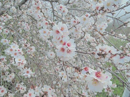 Roque de los Muchachos: Wieder unten erfreuten wir uns an 20° und der Mandelblüte im Januar :-)