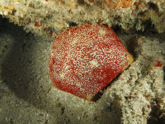 Seasport Divers : pillow star
