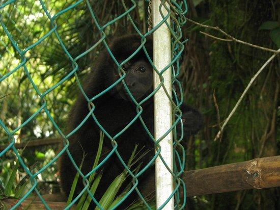 Tree of Life Wildlife Rescue Center and Botanical Gardens: Bébé Hurleur abandonné par son groupe, ne peut être retourné en nature