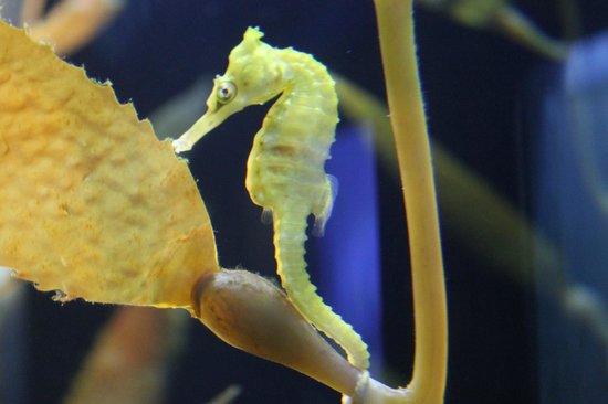 Shedd Aquarium: Caballitos de mar