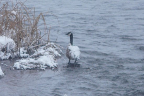 Henrys Fork Inn : Goose with snow on it's back