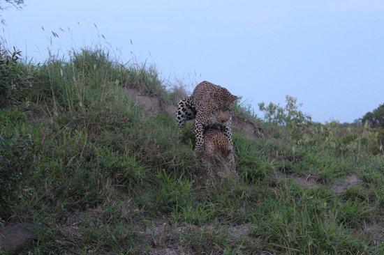 Singita Boulders Lodge : Leopards Mating