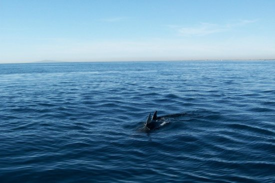 Newport Landing Whale Watching : Dolphin