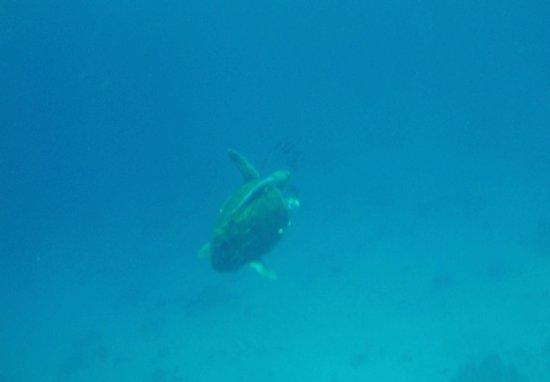 Stella Di Mare Beach Hotel & Spa: Turtle in the sea at the hotel!
