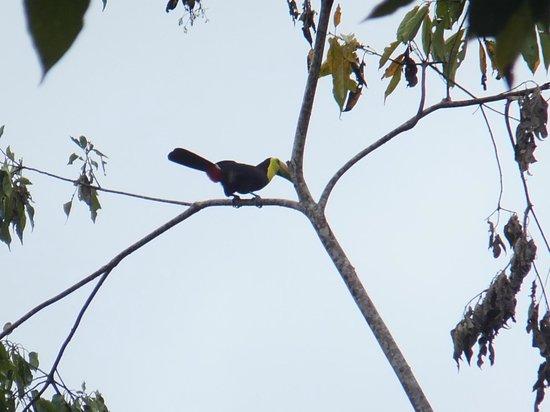 Bucus Tours : Keel-billed toucan