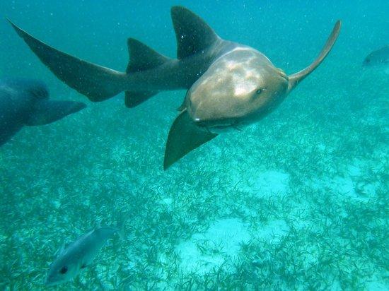 Réserve marine de Hol Chan : Nurse Shark