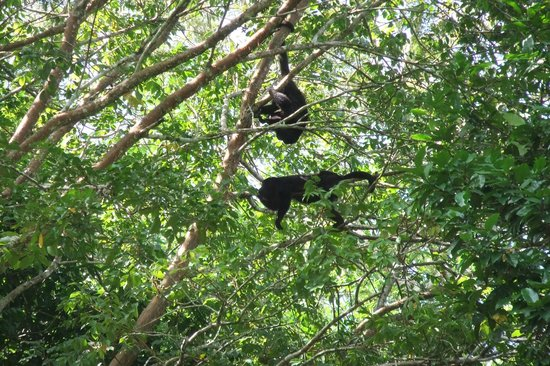 Xunantunich : howler monkeys
