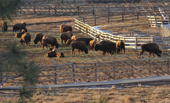 Zion Mountain Ranch : The Buffalo