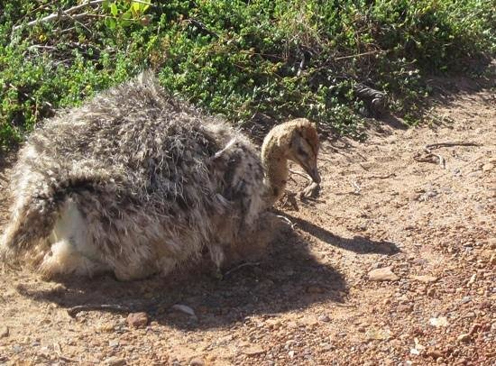 Baz Bus - Day Tours: baby ostrich