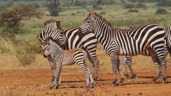 Julius Tact Safaris - Private Day Trips: Tsavo West