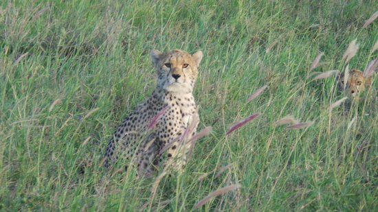 Julius Tact Safaris - Private Day Trips: Tsavo West- there were 4 cheetahs all together!